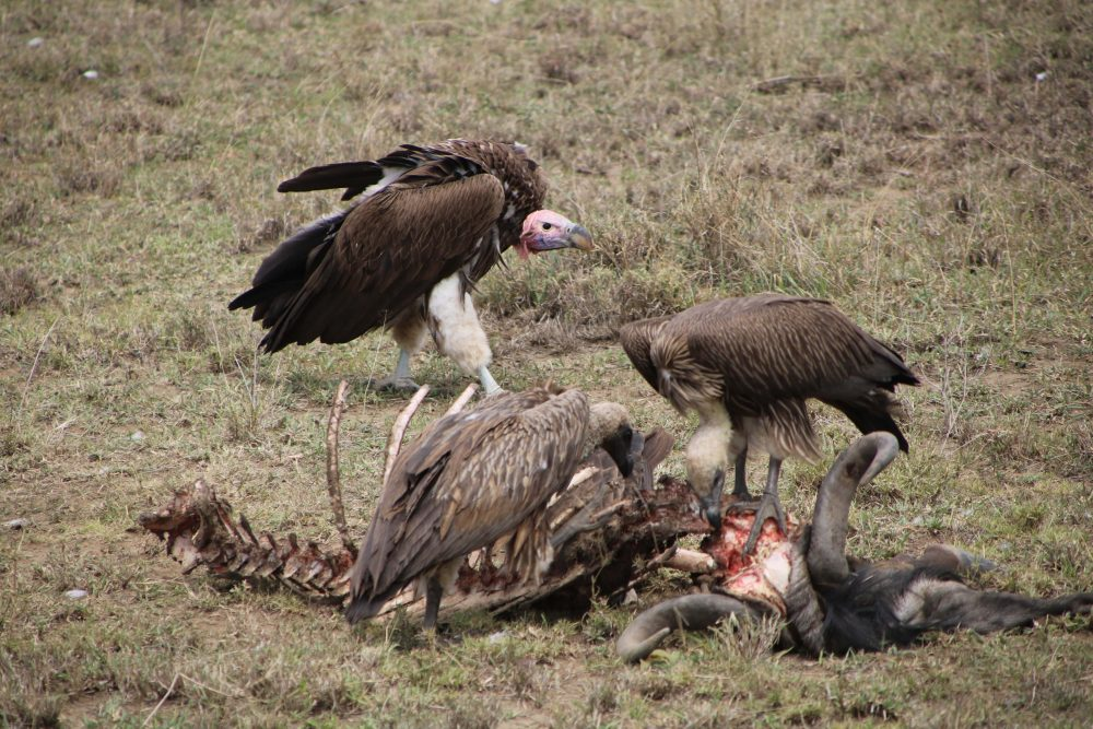 avvoltoi_safari-tanzania_deni-beat-blog
