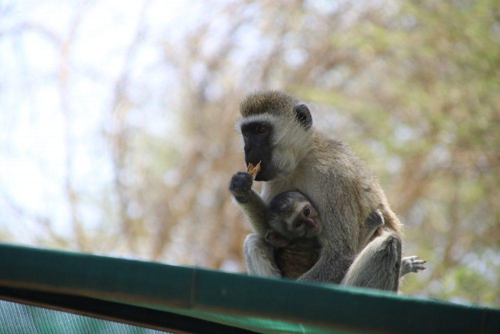 babbuino_safari-tanzania_deni-beat-blog