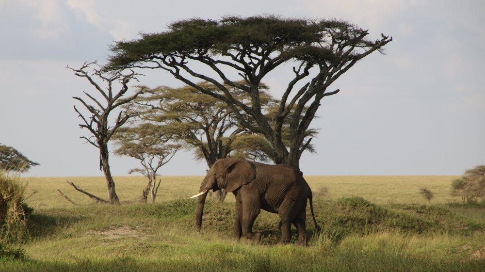 elefante1_safari-tanzania_deni-beat-blog