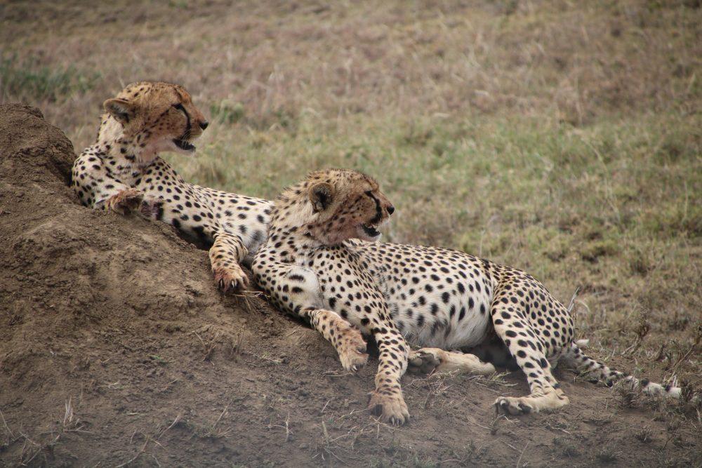 ghepardi_safari-tanzania_deni-beat-blog