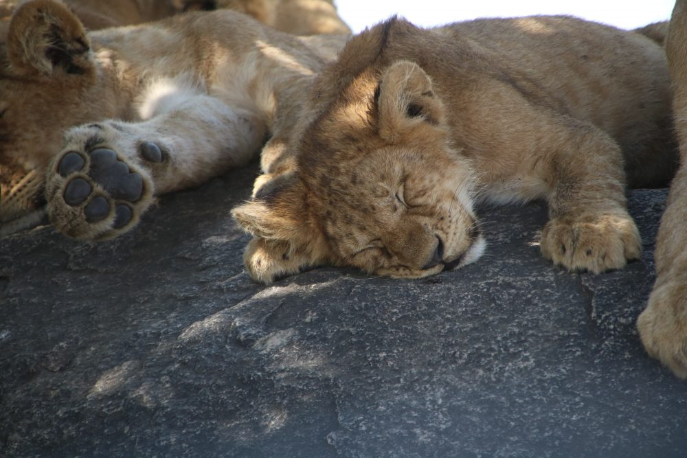 leoncini1_safari-tanzania_deni-beat-blog