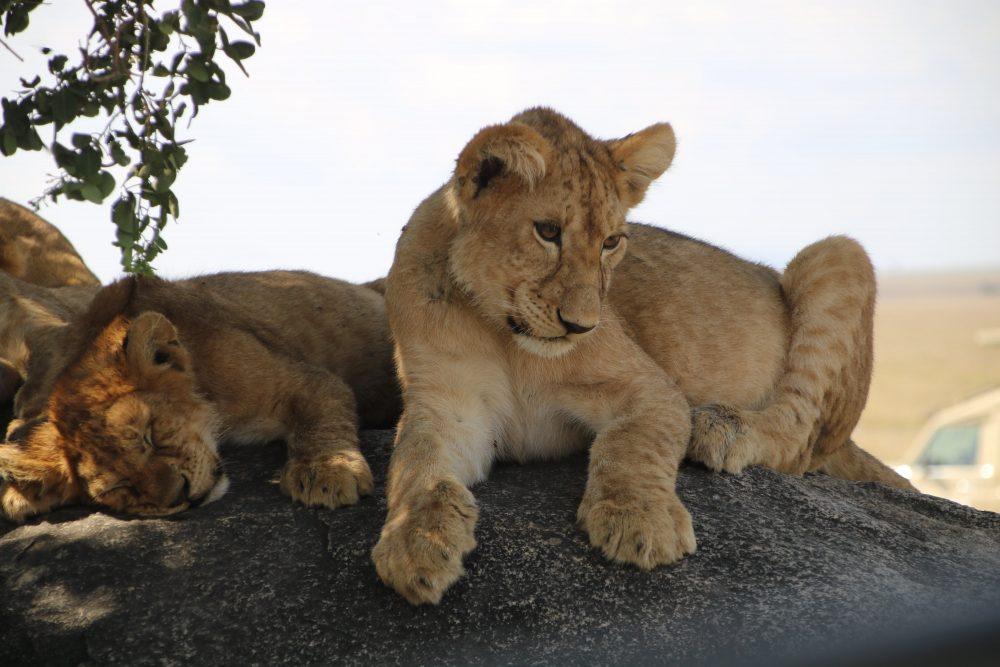 leoncini_safari-tanzania_deni-beat-blog