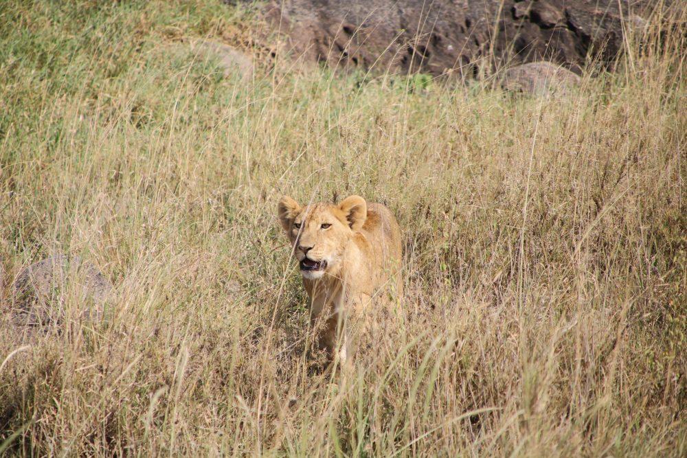 leoncino_safari-tanzania_deni-beat-blog