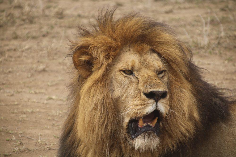 leone1_safari-tanzania_deni-beat-blog