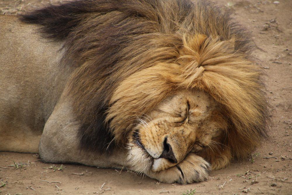 leone2_safari-tanzania_deni-beat-blog