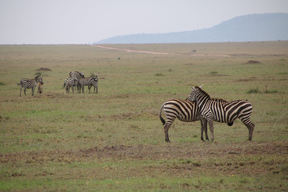 zebra_safari-tanzania_deni-beat-blog
